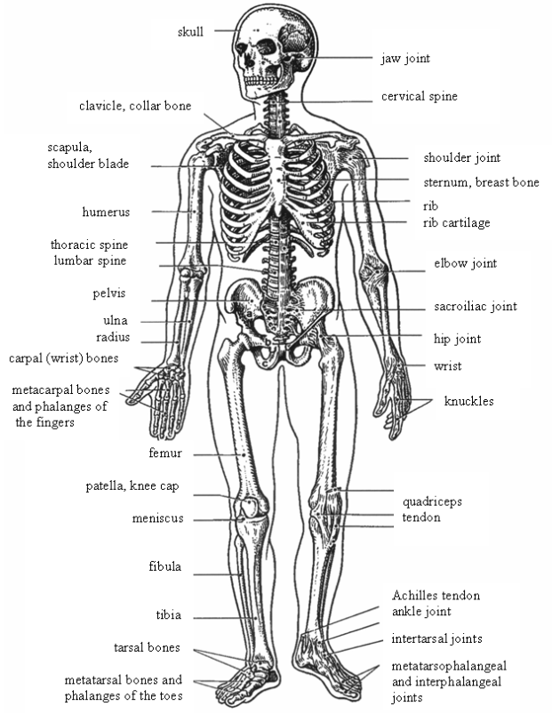 Musculoskeletal System Function Galleryhipcom The