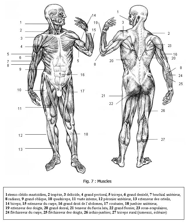 Ziemlich Anatomie Des Perikards Bilder - Menschliche Anatomie Bilder ...